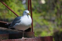 Frivolous Gull (Larus cachinnans) Royalty Free Stock Photos