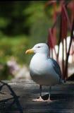 Frivolous Gull (Larus cachinnans) Royalty Free Stock Image