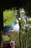 Frivolous Gull (Larus cachinnans) Stock Photography