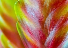 Frizea (Vriesea) Stock Foto's