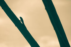 Frizione asiatica del camaleonte della siluetta sul ramo di albero Immagine Stock Libera da Diritti