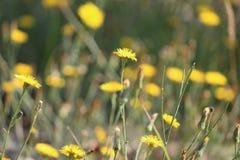 Frlowers giallo Immagini Stock Libere da Diritti
