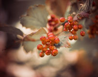 Frmland berries Royalty Free Stock Photos