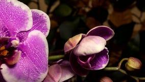 Frodas för orkidéblommor lager videofilmer