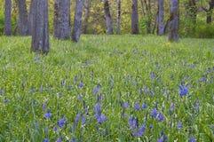 Frodig äng av blåa camas vildblommor med ekar i bakgrund Fotografering för Bildbyråer