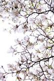 Frodig blomning av den vita magnolian Royaltyfria Bilder