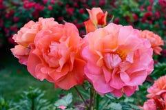 Frodig buske av ljusa rosa rosor på en bakgrund av naturen Utformar blom- bakgrund för blomman Garden arkivfoto