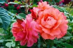 Frodig buske av ljusa rosa rosor på en bakgrund av naturen Utformar blom- bakgrund för blomman Garden fotografering för bildbyråer