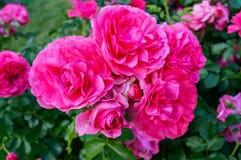 Frodig buske av ljusa rosa rosor på en bakgrund av naturen Utformar blom- bakgrund för blomman Garden arkivbilder