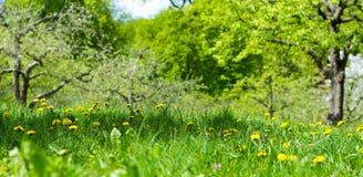 Frodig gräsmatta med maskrosor och det gröna trädet Royaltyfri Bild