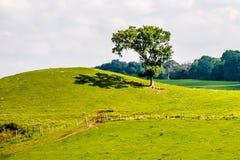 Frodig gräsplan betar med ett ensamt träd Royaltyfri Bild