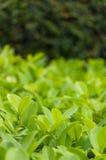 Frodig grön buske Arkivbilder