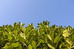 Frodig grön lövverk mot klar blå himmel Arkivfoton