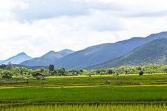 Frodig grön risfält och solnedgång Royaltyfria Bilder