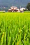 Frodig grön risfältbakgrund Royaltyfria Bilder