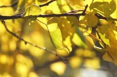 Frodig gul lövverk av aprikosträdet backlit av mjukt solljus Värme väder, den soliga dagen, bra höstlynne Royaltyfri Bild