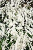Frodig inflorescence av en buskevit Spirea Royaltyfria Foton