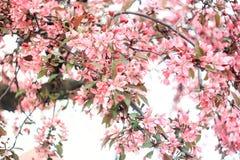 Frodig inflorescence av rosa sakura Arkivbilder