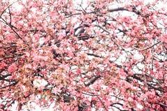 Frodig inflorescence av rosa sakura blommor Royaltyfria Bilder