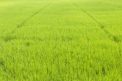 Frodig risfält royaltyfri bild