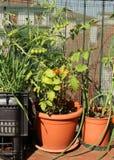 Frodig TOMATväxt på terrassen i en EKOLOGISK stads- trädgård Arkivbild