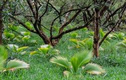 Frodig tropisk vegetation och träd och gömma i handflatan fanbuskar av Hawaii den tropiska botaniska trädgården av Maui av Hawaii Royaltyfria Foton