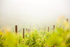 frodig vingård för härlig druva royaltyfri foto