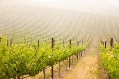 frodig vingård för härlig druva arkivfoto