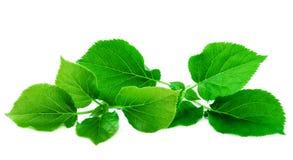 Frodiga gräsplansidor för nya gröna blad som isoleras på vit bakgrund Arkivfoton