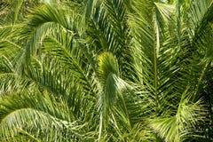Frodiga gröna palmblad i tropisk skog Royaltyfri Bild