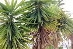 Frodiga gröna palmliljaträd royaltyfria foton