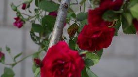 Frodiga knoppar av röda blommor i gården arkivfilmer