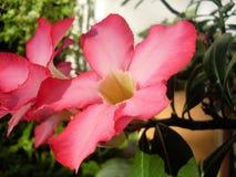 Frodiga rosa färgblommor fotografering för bildbyråer