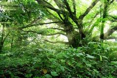 frodiga sunbeams för djungel Arkivfoto