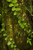Frodiga vinrankor slår in runt om en trädstam i det Monteverde molnet Forest Reserve i Costa Rica arkivfoto