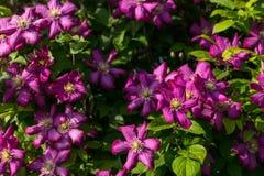 Frodiga Violet Clematis Flowers i blom Arkivbilder