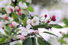 Frodigt blomma av det Apple trädet Royaltyfri Fotografi