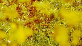 Frodigt ginkgoträd och bambu i bris, höst, skog, trän arkivfilmer