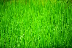 frodigt gräs royaltyfria bilder