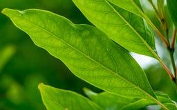 Frodigt grönt åderbladträd royaltyfri foto