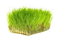 Frodigt grönt gräs arkivbilder