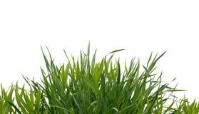 Frodigt grönt gräs som isoleras på vit bakgrund arkivfoton