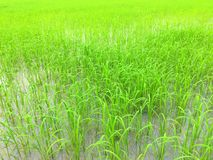 Frodigt grönt risfältfält i asia Royaltyfri Foto