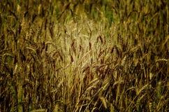 Frodigt grönt vetefält i en indisk lantgård Royaltyfri Fotografi