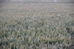 Frodigt grönt vetefält i en indisk lantgård Arkivbild