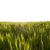 Frodigt soligt vete för grönt gräs på vit Arkivfoto