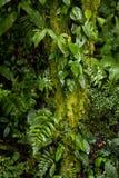 Frodigt växtliv växer på och runt om en trädstam i den Monteverde molnskogen i Costa Rica royaltyfri bild