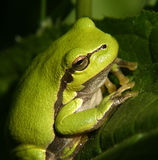 Frog #01 Royalty Free Stock Photo