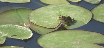 Frog-1. Frog on the water lilies royalty free stock image