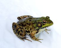 Frog. A close up shot of a northern leopard frog against a white background